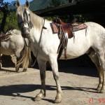 caballo_adan