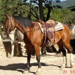 caballo_castano