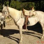 caballo_duquesa