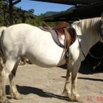 caballo_india