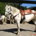 caballo_pachon